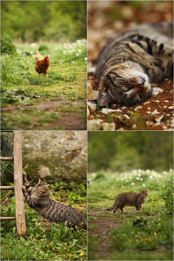 chats_pouleslilo.jpg